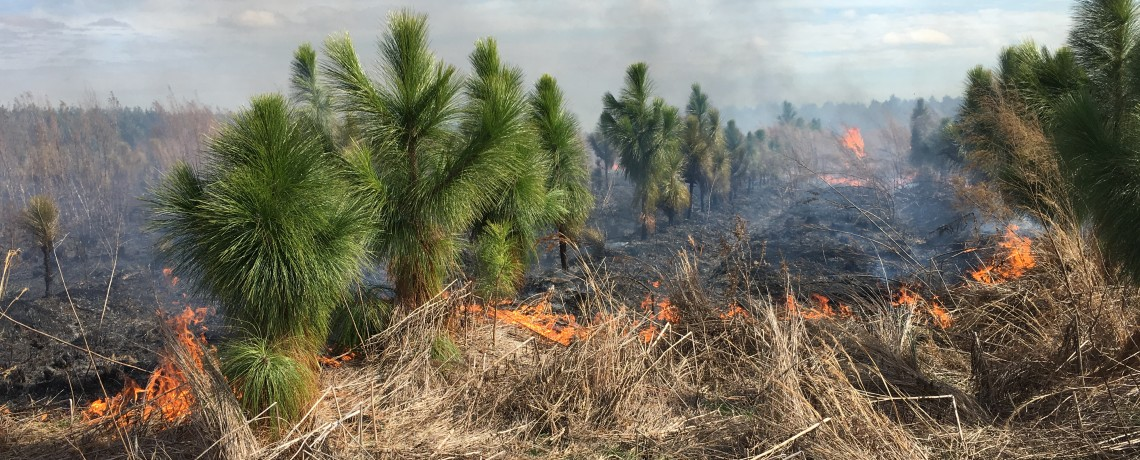 Prescribed fire in young longleaf