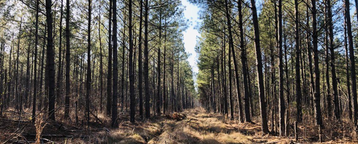 Thinned loblolly pine plantation